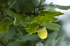 Green acorn Royalty Free Stock Photography