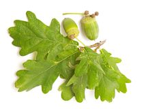 Green acorn Royalty Free Stock Image