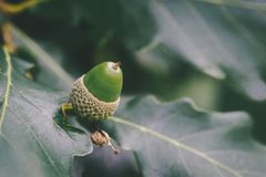 Green Acorn Close-up. A Green acorn growing amongst Oak leaves Royalty Free Stock Image