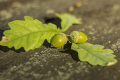 Green acorn Stock Photography