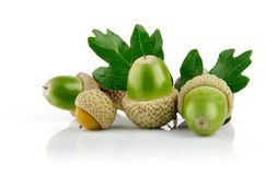 Green acorn fruits with leaves Royalty Free Stock Images