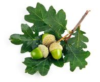 Green acorn fruits with leaves stock photography