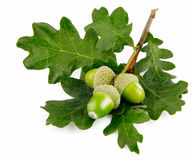 Green acorn fruits with leaves Royalty Free Stock Photography