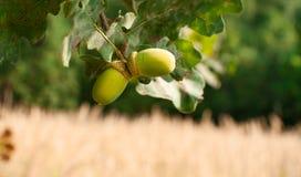 Green acorn Stock Photo