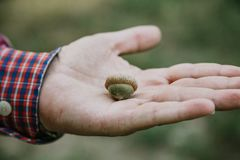 Green Acorn In Palm Of Man Stock Photography