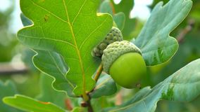 Green acorn on the oak. Acorns on the tree. stock video footage