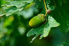Green acorn on an oak leaf in the forest Stock Image