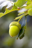 Green acorn on the tree Royalty Free Stock Photography