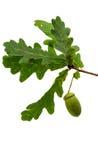 Green acorn Royalty Free Stock Image