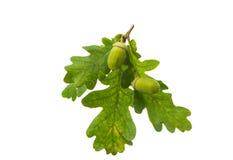 Green acorn Royalty Free Stock Photo