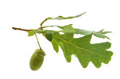 Green acorn Stock Images