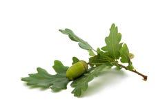 Green acorn Royalty Free Stock Photos