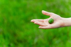 Green acorn on woman`s hand stock image