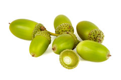 Green acorns. Stock Photos