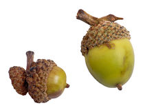 Green Acorns. Two green acorns isolated on white with clipping path Stock Images