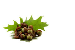 Green acorns Stock Images