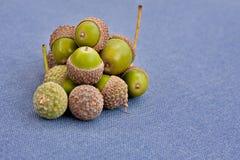 Green acorns Royalty Free Stock Image