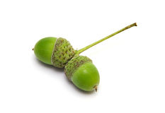 Green Acorns  Royalty Free Stock Images