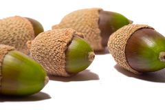Green acorns Stock Photos