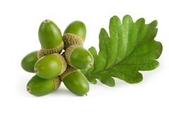 Green acorns with leaf on white royalty free stock image