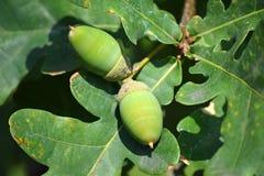Green acorns Royalty Free Stock Photo