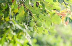 Green acorns oak tree, green leaves, bokeh background, close up Stock Photography