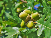 Green acorns Royalty Free Stock Photography