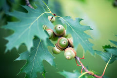 Green acorns on a tree in the summer Stock Photography