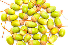 Green acorns Stock Image