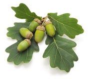 Green acorns. Royalty Free Stock Photo