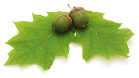 Green acorns. Stock Images