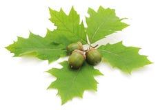 Green acorns. Stock Image