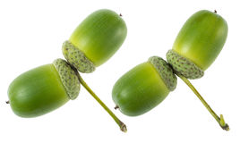 Green acorns seeds Royalty Free Stock Images