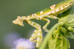 Green adult mantis Stock Images