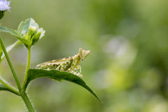 Green adult mantis Royalty Free Stock Photos