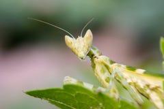 Green adult mantis Stock Photos