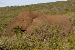 In the Green The African Bush Elephant. The African bush elephant is the larger of the two species of African elephant. Both it and the African forest elephant stock images