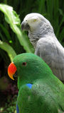 Green and African gray parrots Royalty Free Stock Photos