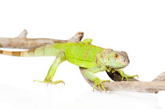 Green agama close up. isolated on white background Royalty Free Stock Image
