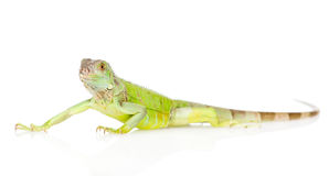 Green agama in profile. isolated on white background Royalty Free Stock Photo