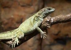 Green Agama. Sort : Hydrosaurus weberi. Horizontal position Royalty Free Stock Photo