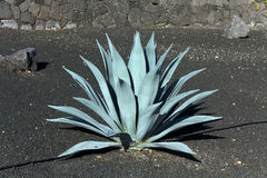 Green agave  cactus,lanzarote,black earth Royalty Free Stock Image