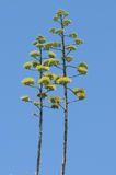 Green Agave Flowers Royalty Free Stock Photo