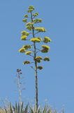 Green Agave Flowers Royalty Free Stock Photography
