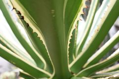 Thorny radial green agave leafs stock photography