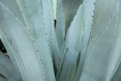 Green agave leaves with thorn background. Green thorned agava cl Royalty Free Stock Photography