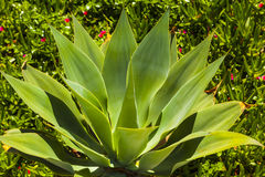 Green agave plant Royalty Free Stock Photo