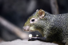 Green agouti Stock Image