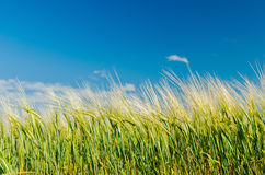 Green agricultual field under blue sky Royalty Free Stock Photography