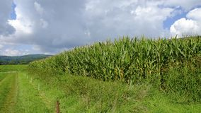 Agricultural field with corn. Green agricultural field with corn Royalty Free Stock Photography